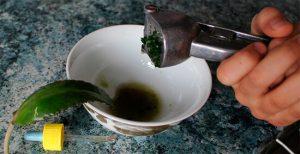 Используйте сок каланхоэ совместно с прополисом для избавления от недуга